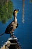 Cormorant Double-Crêté Images stock