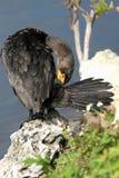 Cormorant Double-crêté, auritus de Phalacrocorax Image libre de droits