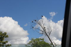 Cormorant, Double-crested  (Phalacrocorax auritus) Stock Images