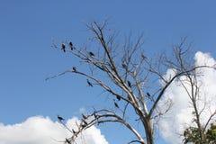 Cormorant, Double-crested  (Phalacrocorax auritus) Royalty Free Stock Photos