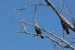 Cormorant, Double-crested  (Phalacrocorax auritus) Stock Photos