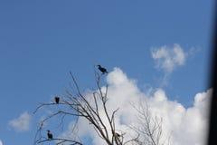 Cormorant, double-crested  Phalacrocorax auritus Stock Images