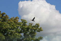 Cormorant, double-crested  Phalacrocorax auritus Stock Photo