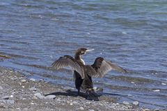 A cormorant dries its wings, was seen in New Zealand royalty free stock images