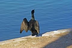 Cormorant. Stock Images