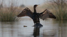 Cormorant dries its wings on the trunk stock video footage