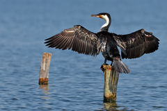 Cormorant dries wings Royalty Free Stock Photography