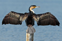 Cormorant dries wings Royalty Free Stock Image