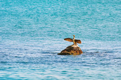 Cormorant Dries Wings Royalty Free Stock Photos