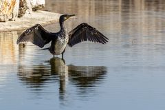 Cormorant drying its wet wings after fishing stock image