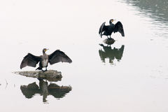 Cormorant drying its wings Stock Photos