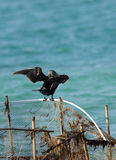 Cormorant drying its wings after fishing Royalty Free Stock Photography