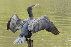 Cormorant. Drying its wings on the Ornamental Pond at Southampton Common Stock Photography