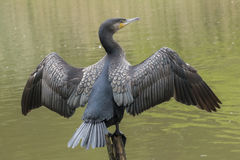 Cormorant. Drying its wings on the Ornamental Pond at Southampton Common Stock Photo