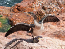 Cormorant drying its wings Royalty Free Stock Photography