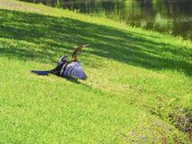 Cormorant drying itself on the lawn next to a pond Royalty Free Stock Images