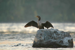 Cormorant drying wings Stock Images