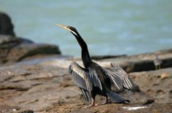 Cormorant drying wings Royalty Free Stock Photo