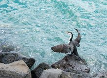 Cormorant drying wings in sun Royalty Free Stock Photography