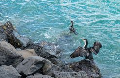 Cormorant drying wings in sun Stock Photos