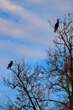 Cormorant duo perched on branches without foliage royalty free stock image