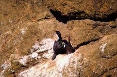 Cormorant e bambino Fotografia Stock