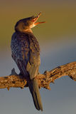 Cormorant in early morning sun on branch. In nature reserve in south africa Stock Images
