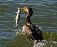 Cormorant Eating Catfish Stock Photo