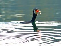 Cormorant eating fish Stock Photography