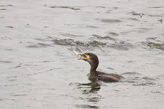 Cormorant eats a mullet Royalty Free Stock Photos