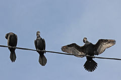 Cormorant on electric cable Stock Photos