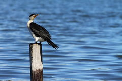 Cormorant en Australie Photographie stock libre de droits