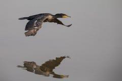 Cormorant en vol Photo libre de droits