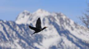 Cormorant en vol Image stock