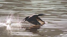 Cormorant en vol en surface Photographie stock libre de droits
