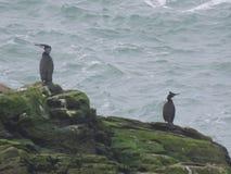 Cormorant et tapis à longs poils Images libres de droits