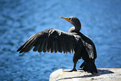 Cormorant with extended wing. Cormorant at the edge of a pier with wing extended. Double-crested cormorant, Phalacrocorax auritus Royalty Free Stock Photo