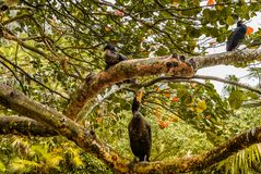 Cormorant Family Sitting in the Sea Grape Tree stock photo