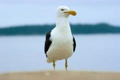 Cormorant fiero Fotografie Stock