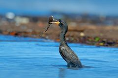 Cormorant with fish. Dark bird in nature habitat, in blue sea water. River bird in the nature habitat. Shag from Costa Rica. Black Royalty Free Stock Photography