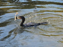 Cormorant with fish in mouth. Fishing cormorant sun glistening on water Royalty Free Stock Photography