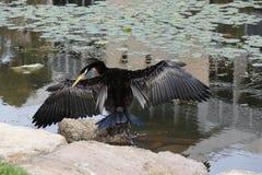 Cormorant 1 Royalty Free Stock Image