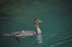 Cormorant with Fish Stock Photos