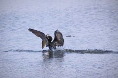 Cormorant fishing Stock Images