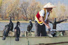 Cormorant Fishing in China Stock Image