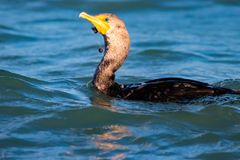 Cormorant with fishing line wrapped around its beak and neck royalty free stock photos