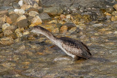 Cormorant. Fishing on mediterranean sea Stock Images