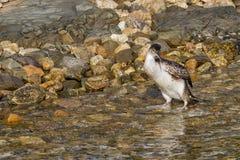 Cormorant. Fishing on mediterranean sea Stock Photos