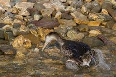 Cormorant. Fishing on mediterranean sea Royalty Free Stock Images