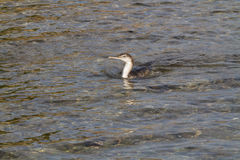 Cormorant. Fishing on mediterranean sea Stock Photo